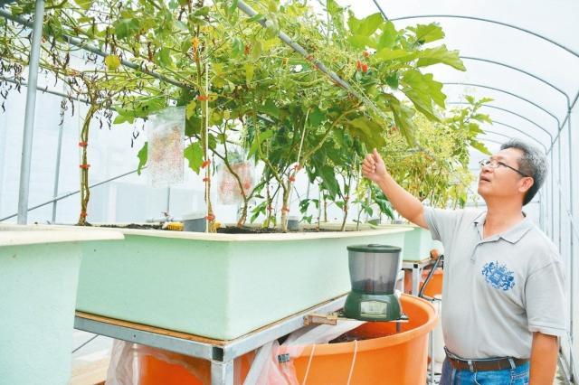 魚菜共生系統在大水桶養魚,植物過濾養殖水可巡循再利用,省水省肥。 記者吳淑玲/攝影