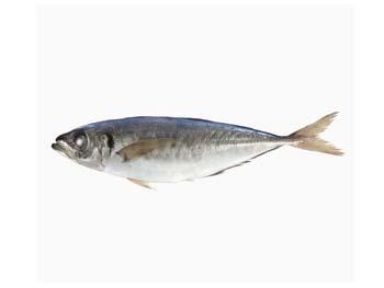 Trachurus japonicus