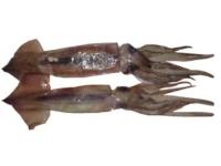 Argentine Shortfin Squid